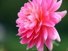 pink chyrsanthum.jpg