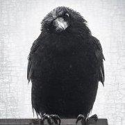 CrowLuv